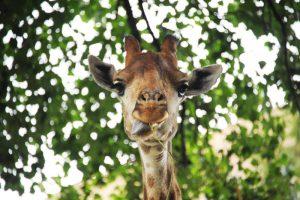 Жирафа Самсона перевели в открытый вольер в Московском зоопарке. Фото: Светлана Колоскова, «Вечерняя Москва»