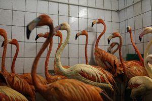 Фламинго Московского зоопарка переехали в летний вольер . Фото: архив, «Вечерняя Москва»