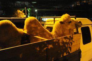 Двугорбого верблюда приобрели для разведения в Московском зоопарке. Фото: Светлана Колоскова, «Вечерняя Москва»