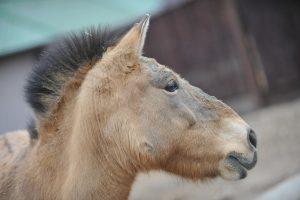 Детеныш лошади Пржевальского родился в Московском зоопарке. Фото: Александр Казаков, «Вечерняя Москва»