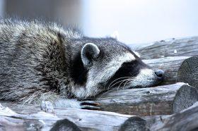 Еноты в Московском зоопарке ушли в зимнюю спячку. Фото предоставили в пресс-службе Московского зоопарка