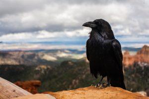 Работники Зоологического музея покажут фильм о воронах на канале учреждения. Фото: pixabay.com