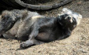 Енотовидная собака в Московском зоопарке ушла в зимнюю спячку. Фото предоставили в пресс-службе Московского зоопарка