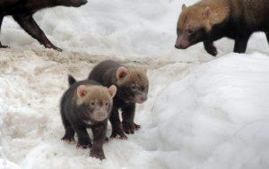 Кустарниковые собаки родились в Московском зоопарке. Фото предоставили в пресс-службе зоопарка