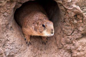 Сурки Московского зоопарка вышли из спячки. Фото: pixabay.com