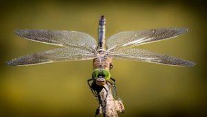 Сотрудники Биомузея рассказали об окрасе стрекоз. Фото: pixabay.com