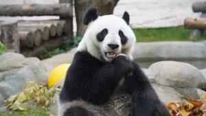 Пандам в Московском зоопарке устроили осеннюю фотоссесию. Фото предоставили в пресс-службе культурного учреждения